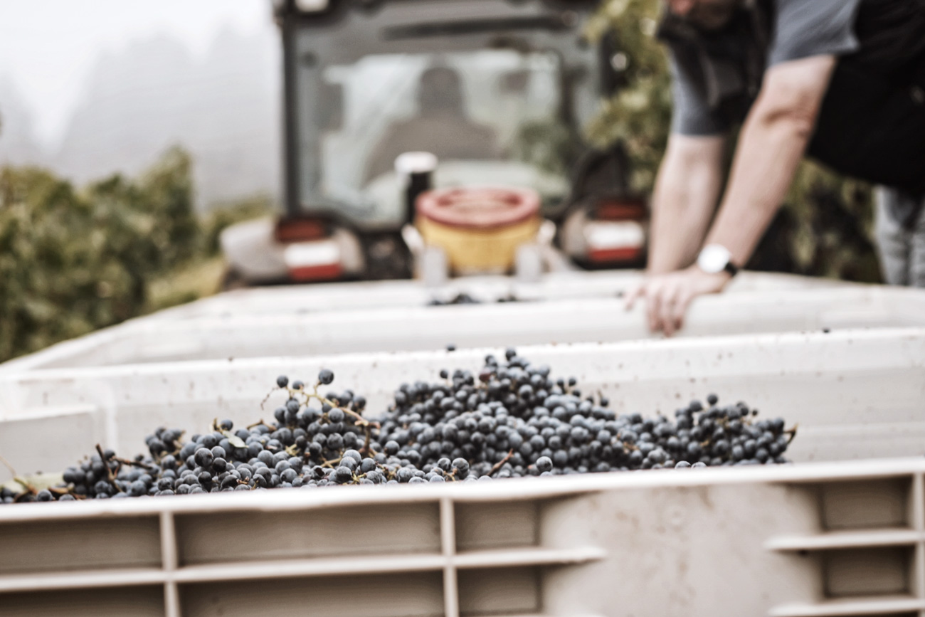 DuMOL Winery harvest grape bin